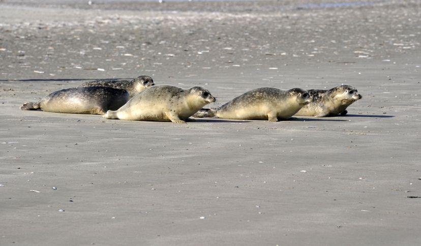 Seehunde, © Beate Ulich