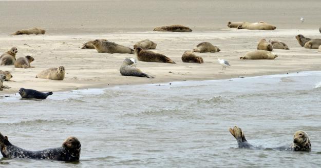 Seehundbank, © Beate Ulich