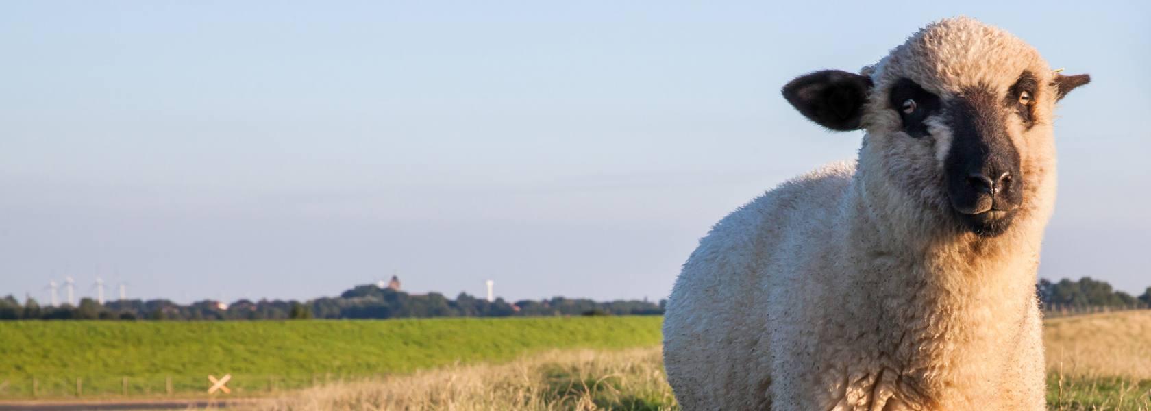 Schaf auf dem Deich, © Dietmar Scherf
