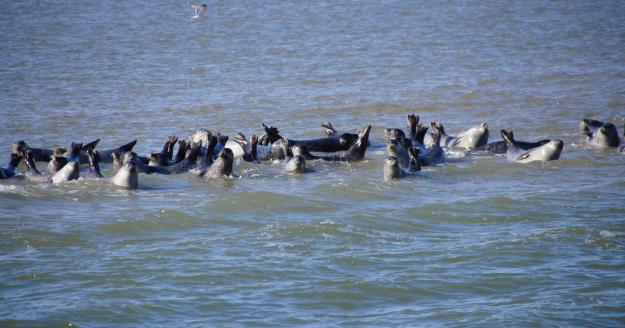 Seehunde auf der Seehundbank, © Die Nordsee GmbH, Katrin Koring